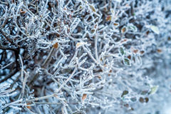 Close-up of hoar frost on linden tree branches Stock Photography