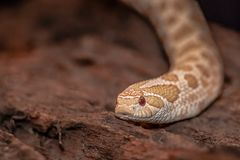 Close up of a hognose snake. A close up of the head pf a Hognose snake. It is on a piece of old wood. It is face on to the camera. With copy space royalty free stock photography