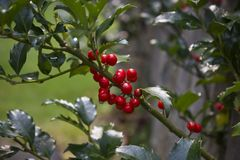 Holly Berries Growing on a Bush royalty free stock photos