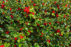 Close up of Holly Bush with Red Berries Royalty Free Stock Photos
