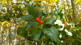 Close up of holly christmas plant in the forest royalty free stock photos