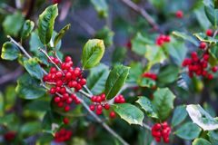 Holly berries. A close up of a holly tree with red berries stock images