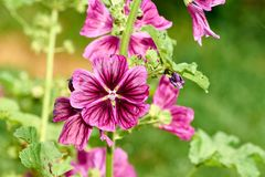 close up Hollyhock Althaea rosea or Alcea rosea, flower on blurred background royalty free stock image