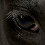 Close-up of Holstein Cow eye Stock Image