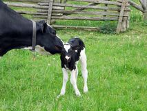 Mother Holstein cares for new baby standing on wobbly legs for the first time stock images