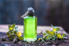 Close up of holy basil and its oil. Ocimum tenuiflorum,Tulsi,Holy basil`s oil with leaves beneficial for skin and hair Royalty Free Stock Photos