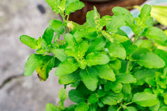Close up holy basil leaf from Thailand Stock Photography