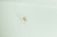 Close up at Home spider on the white wall. Spiders order Araneae are air-breathing arthropods that have eight legs and chelicerae with fangs that inject venom royalty free stock photography