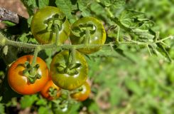 Cherry tomatoes growing on fragile, hairy stem. Close-up of homegrown cherry tomatoes ripening on fragile, hairy stem royalty free stock photos
