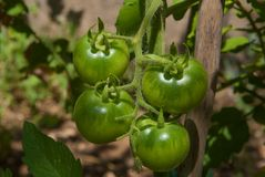 Close-up of homegrown, green cherry tomatoes. Unripe, green cherry tomatoes growing on plant Royalty Free Stock Image