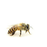 Close-up of a honey bee Royalty Free Stock Image