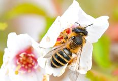Close-up of a honey bee Stock Images