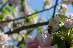 Close Up of Honey bee on Apple Tree in Spring with pink blossoms. stock photos