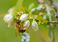Close up Honey Bee feeding on Blueberry Blooms. Stock Photo