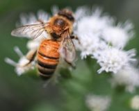 Close up of honey bee on flat-topped white aster royalty free stock photography
