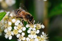 Close-up of a honey bee gathering nectar Stock Photos