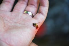 Close up of the Honey Bee stinging attack in the human hand royalty free stock photo