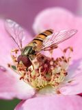 Close-up of a honey bee on top of a pink colored wildflower. Stock Photo