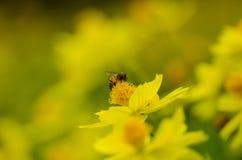 Close Up Honey Bee Royalty Free Stock Photos