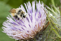 Close up of honey bees, Apis Stock Images