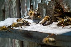 Close-up of honey bees next to the old beehive with pieces of old blue paint. stock photos