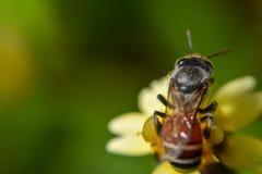 Close up honey collecting honey royalty free stock photo