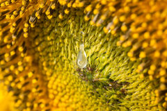 Close up on honey drop on sunflower Stock Images