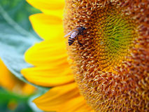 Close Up Honeybee on a Sunflower Royalty Free Stock Photography