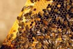 Close up honeycomb in wooden beehive with working moving bees on it. Apiculture farm concept. royalty free stock images