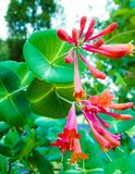 Close up of honeysuckle flowers royalty free stock image
