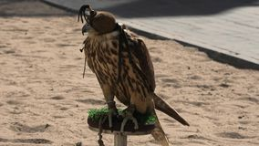 Falcon at Falcon Souq Doha. Close up of hooded falcon at Falcon Souq near Souq Waqif in Doha city center. Falconry is a hobby very popular in Qatar, Middle East stock video footage