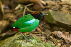 Close up Hooded Pitta Stock Images
