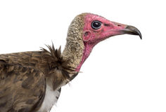 Close-up of a Hooded vulture - Necrosyrtes monachus Royalty Free Stock Photography