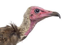 Close-up of a Hooded vulture - Necrosyrtes monachus Stock Photos