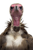 Close-up of a Hooded vulture - Necrosyrtes monachus Stock Photography