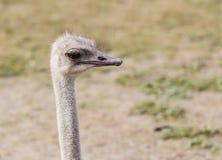 Close-up hoofdstruisvogel in openlucht Stock Afbeelding