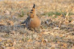 Hoopoe. The close-up of hoopoe on winter ground. Scientific name: Upupa epops Stock Photo