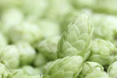 Close up of hop cones Stock Photo