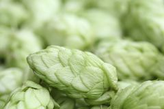 Close up of hop cones Royalty Free Stock Photo
