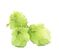 Close up of hop flowers. Royalty Free Stock Image
