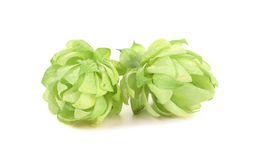 Close up of hop flowers. Royalty Free Stock Photography