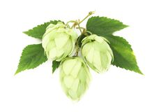 Close up of hop flowers Stock Image