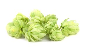 Close up of hop flowers. Stock Photos