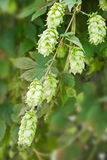 Close up of hop (humulus lupulus) Royalty Free Stock Photography
