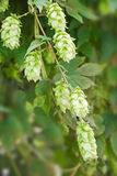 Close up of hop Royalty Free Stock Image