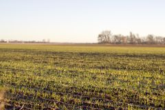 New growth in a sunlit field. Close up horizontal photo showing rows of new plant growth in a field being lit by the warm morning sun stock photo