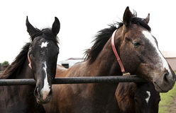 Close-up horizontal portrait of two horses. Thoroughbred horses Royalty Free Stock Photography