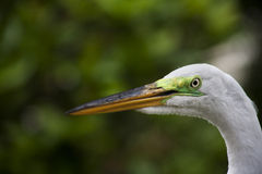 Close-up horizontal portrait of  white egret on a background of green grass Royalty Free Stock Image