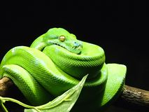 Vividly Green Snake. Close up horizontal shot of a bright green constrictor type snake coiled up on a tree branch Royalty Free Stock Photos
