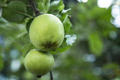 Close Up Horizontal View of Green Apples / Leaves Growing on Branch, Shallow Field of Depth/Soft-Focus Background, Daytime royalty free stock images